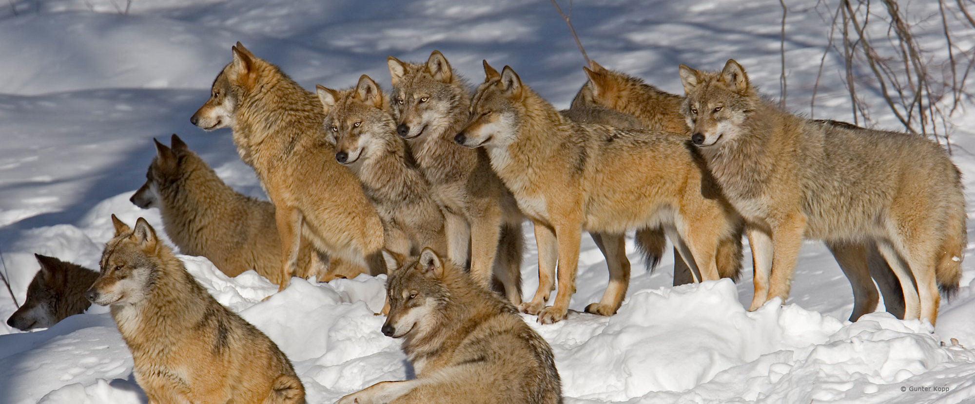 Wolf Magazin Newsletter abonnieren!